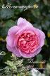 Rosiger Adventskalender - Dames de Chenonceau