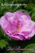 Rosen Rosenblog Hexenrosengarten Kordes Uhl Rugosa Pink Roadrunner Rosiger Adventskalender