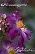 Rosiger Adventskalender  Veilchenblau