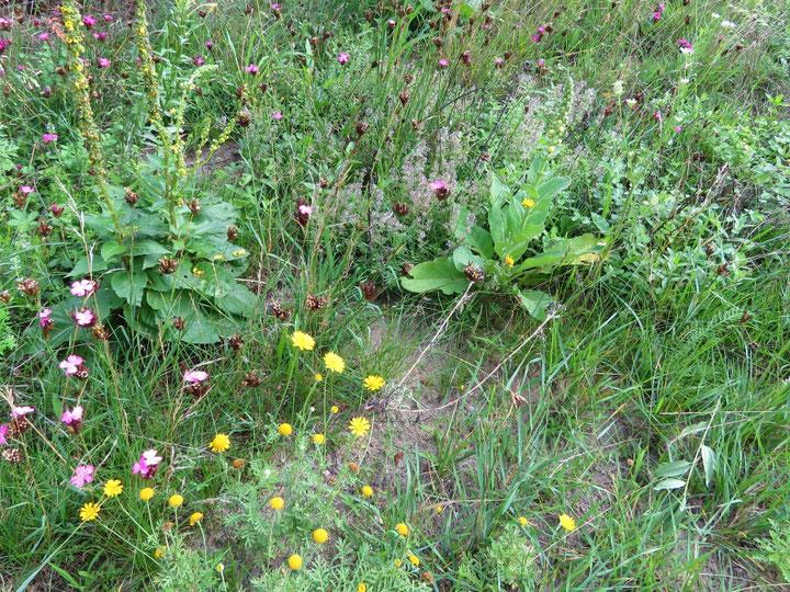 Lückige, magere Blumenwiese