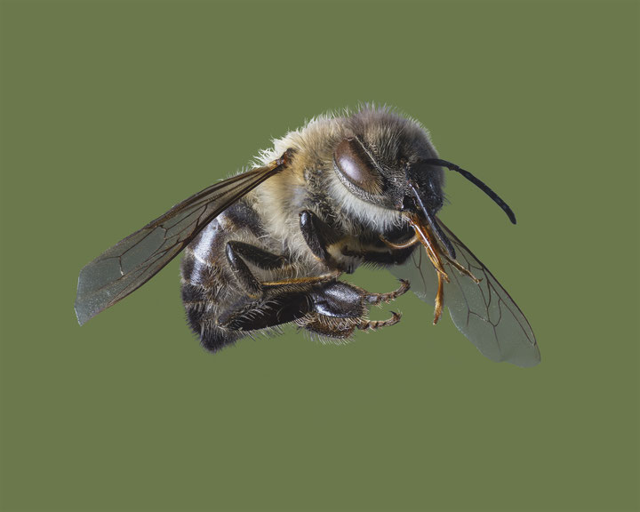"""""""Westliche Honigbiene, Western Honeybee"""""""