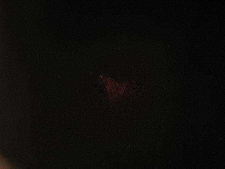leopardo nella notte