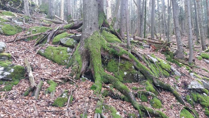 Wald bei Lungern / Obwalden