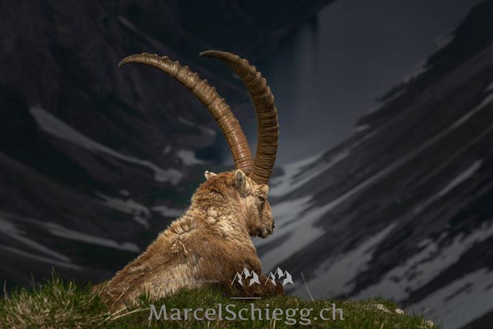 Alpstein, Bollenwees, Fählensee, Steinbock, Marcel Schiegg, Steinböcke, Appenzell, Appenzellerland, Alpen, Steinwild, Berggasthaus Bollenwees, Furgglenalp, Wildlife