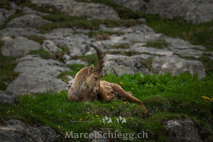 Steinbock, Alpstein, Marcel Schiegg, Steinwild, Appenzell, Wildlife, Appenzellerland