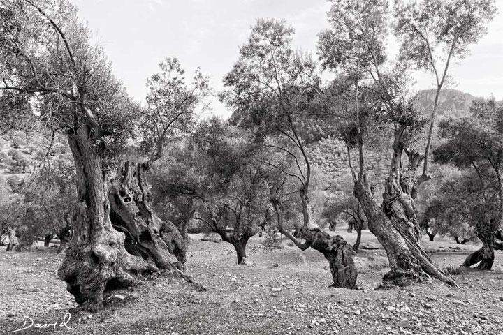 Alter Olivenbaum Olivenhain Mallorca Schwarz-Weiß