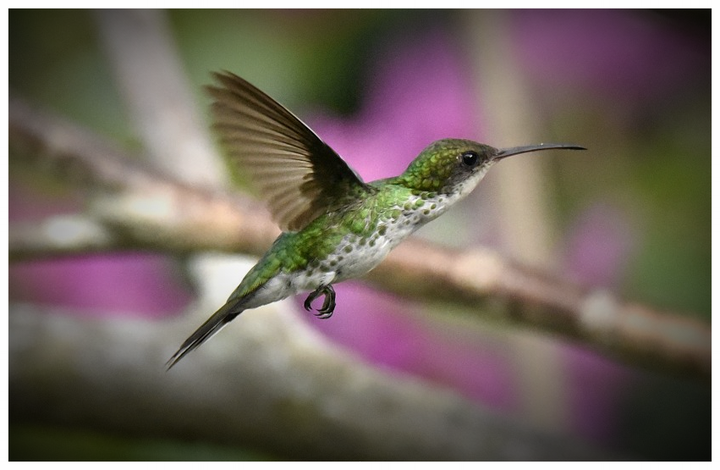 The female Streamer tail, living with other females in Barney's Hummingbird Garden Jamaica