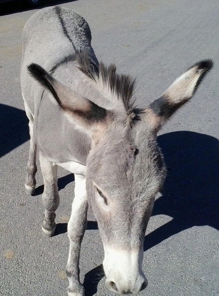 Bild: HDW-USA, Highway, Route 66, Amerka, Mister T. und der Weiße Büffel, Oatman Arizona, Mule, Esel