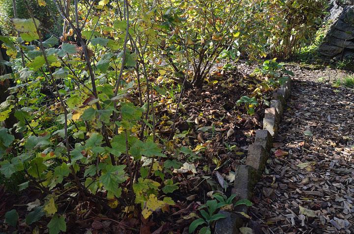 Unter Johannisbeer- und Josta-Strauch wurde großflächig mit Laub gemulcht, was vor allem für die flachen Wurzeln der Jostabeere von Vorteil ist. Foto: S. Borchers