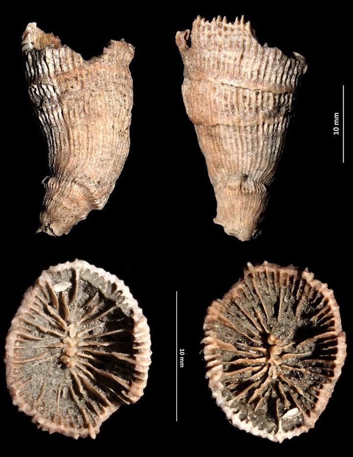 Caryophyllia zancleus dal torrente Stirone, Pliocene