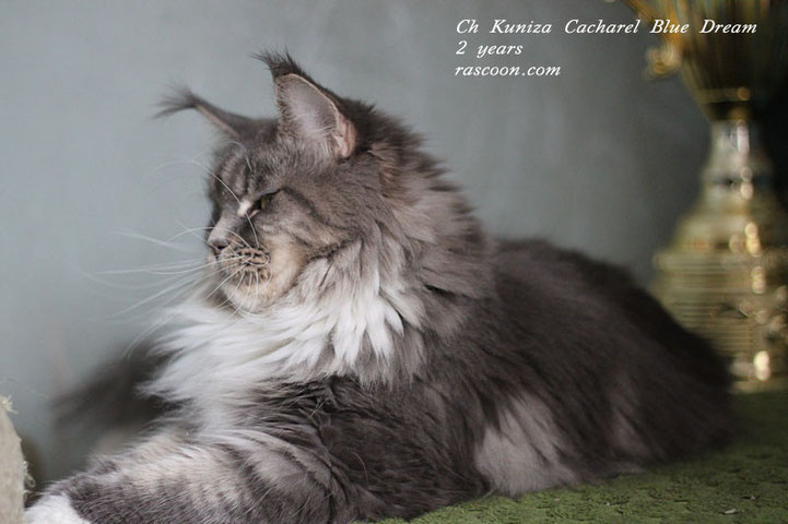 CH Kuniza Cacharel Blue Dream 2 years
