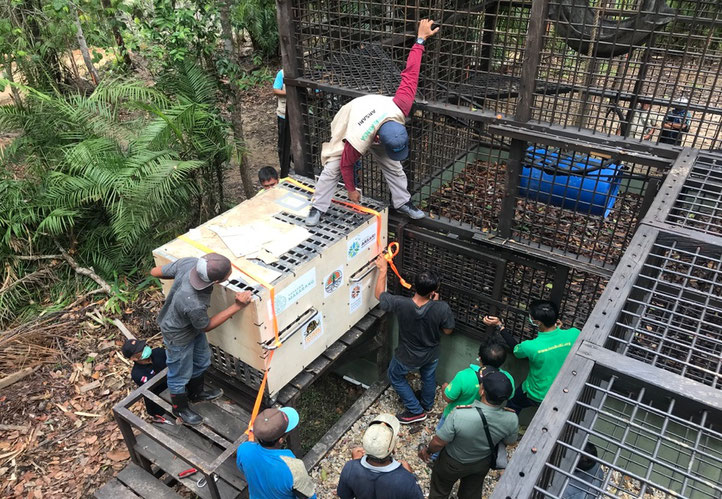 On the left the moment that Rajuli, our paramedic is openting the door of Bento's transport cage to let him enter the new temporary facility where he will spend time to get to know some other big orangutans before they will move on to the final island for
