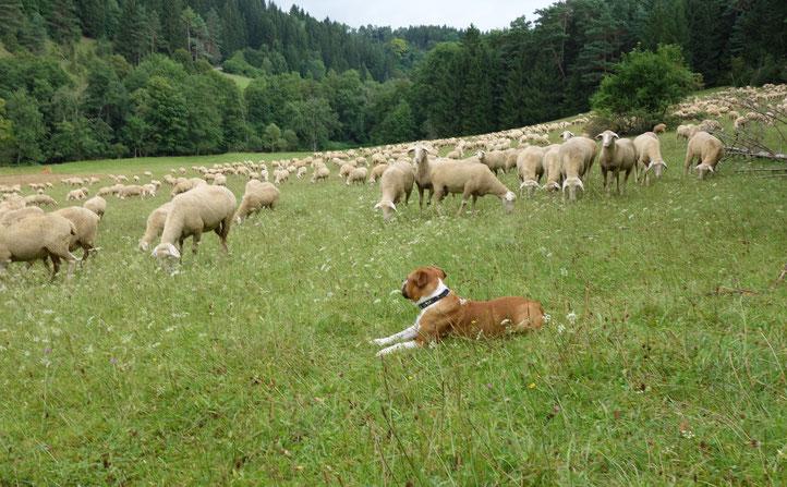 Paula als Wächterin von 1200 Schafen!