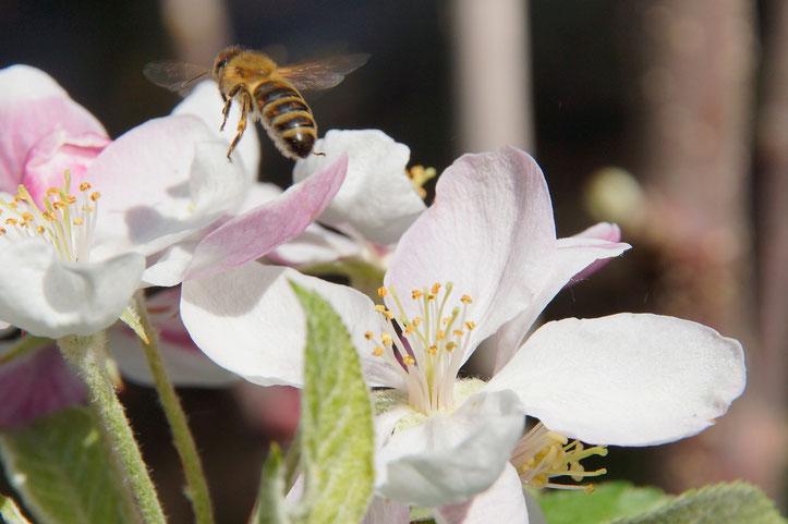 Eine unserer Mitarbeiterinnen an heimischer Apfelblüte. (Foto: T. Grimm)