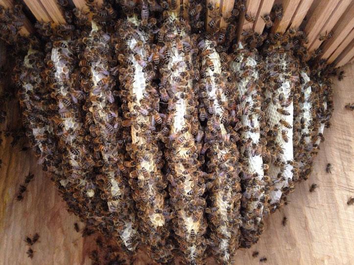 Bienen im Bauch des Buddhas. Vom Baum bis zur Beute. Film ab!