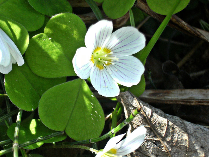 Die Lösung meines Wildkräuter-Rätsels von 2014: Waldsauerklee (Oxalis acetosella)
