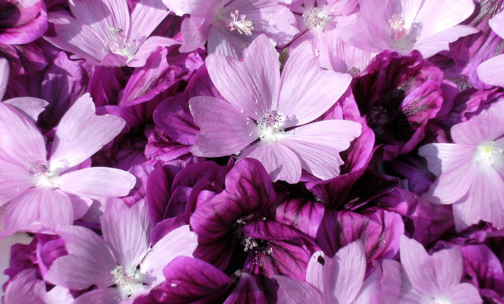Wilde Malve in violett und hellrosa Rosenmalve