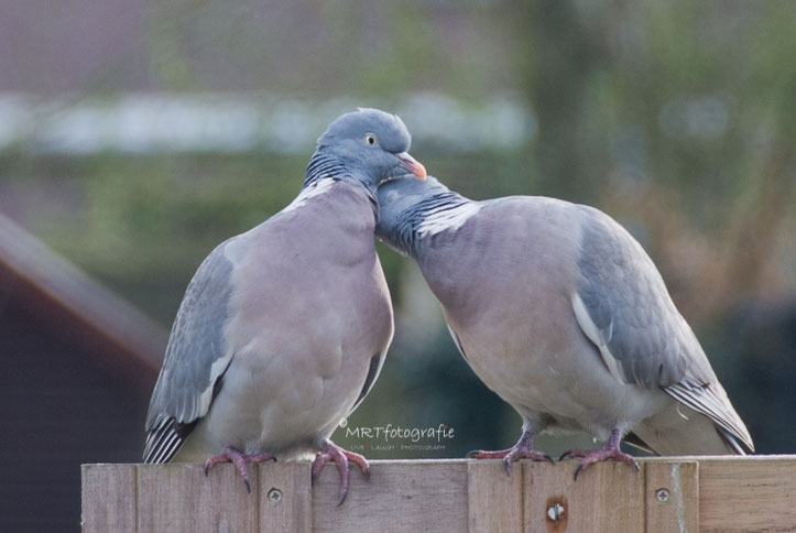 Tortelende duiven