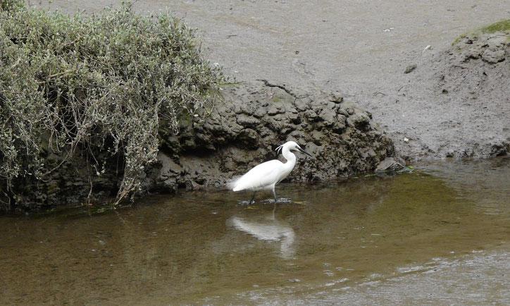 Aigrette à la pêche,Dourduff-en-Terre