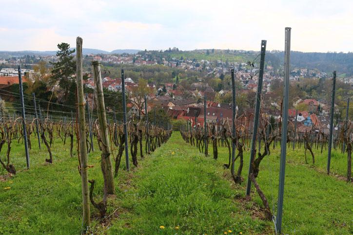 Сорт троллингер — второй по популярности сорт винограда после рислинга