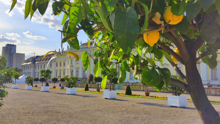 О том, что Баден-Вюрттемберг — земля с тёплым, мягким климатом, напоминают лимоны, растущие на улице