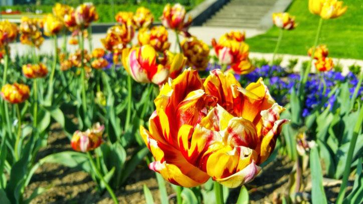 Даже цветы своей формой напоминают о своём барочном происхождении