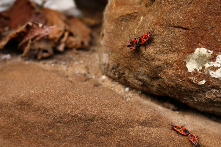 В камнях около виноградников водятся змеи, но нам попались только жуки-пожарники