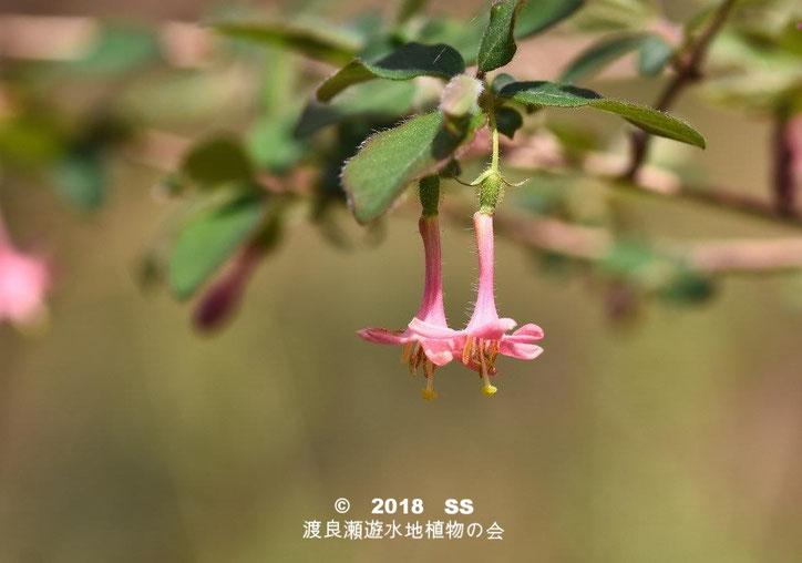 渡良瀬遊水地に生育しているミヤマウグイスカグラの全体画像と説明文書