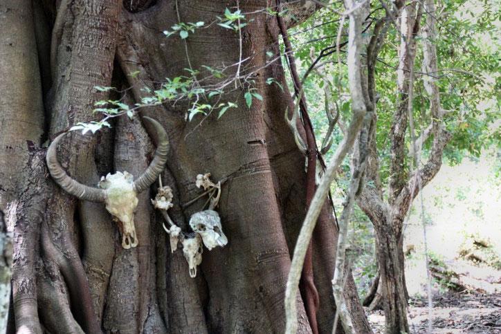 Hirsch, Affe und Büffel sind die Hauptnahrung der Warane