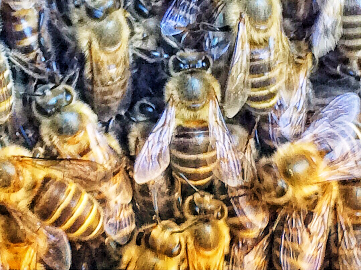 群がる日本ミツバチ