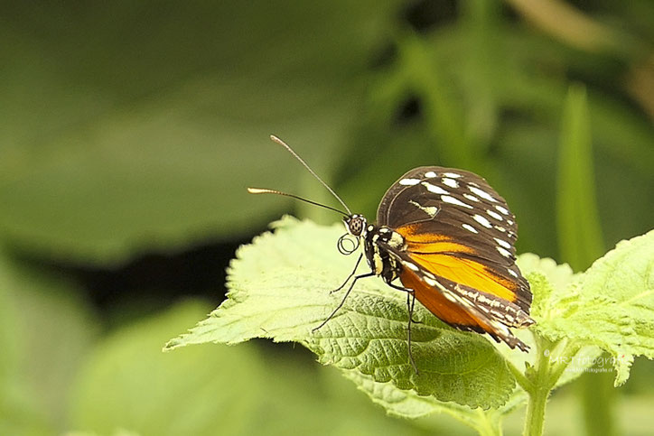 Tithorea tarricina,  vlindertuin Orchideeënhoeve.