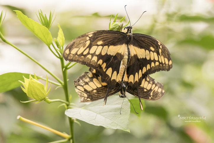 Parende Battus polydamas, vlindertuin Orchideeënhoeve.