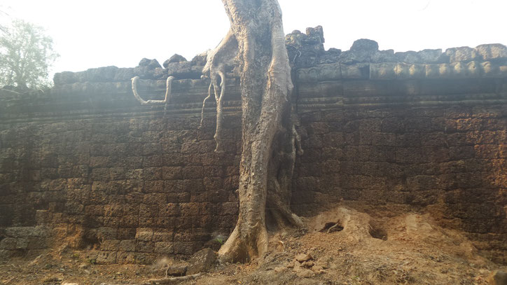 Kambodscha scheint manchmal entwurzelt