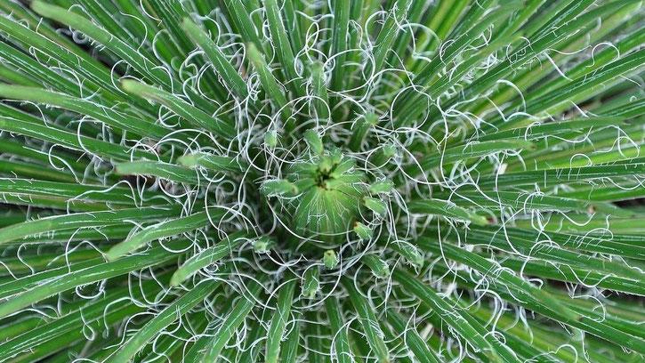Bild Agave geminiflora