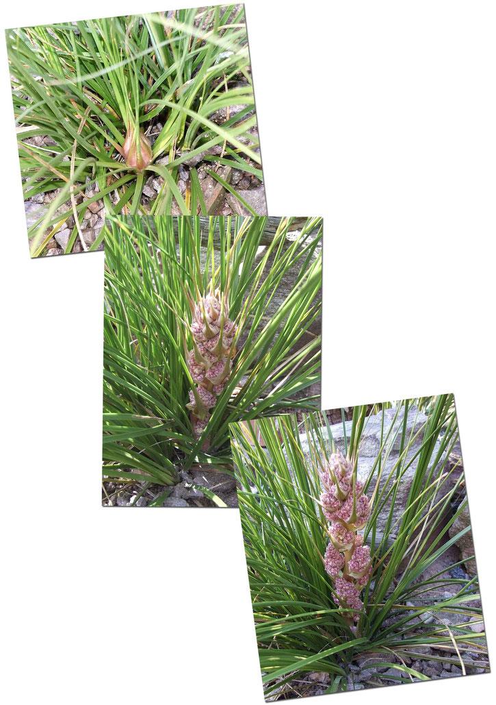 Entwicklung des Blütenstandes