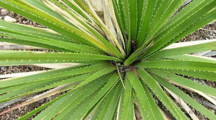 Bild Dasylirion texanum im Botanischen Garten Basel CH(c) Thomas Boeuf