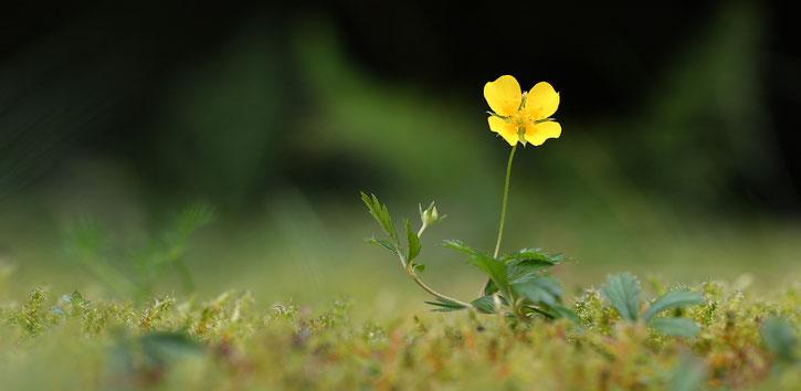 Makro, Erzgebirge, klein, Blutwurz, Blume, Wildblume, Blüte, gelb