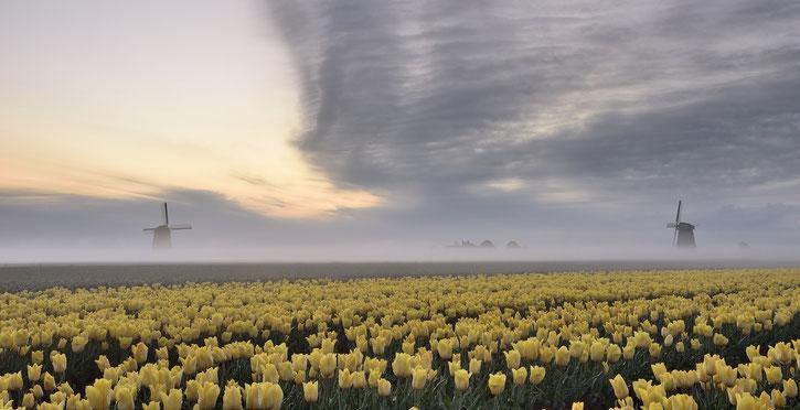 607 Molens met gele tulpen in de mist (3963)