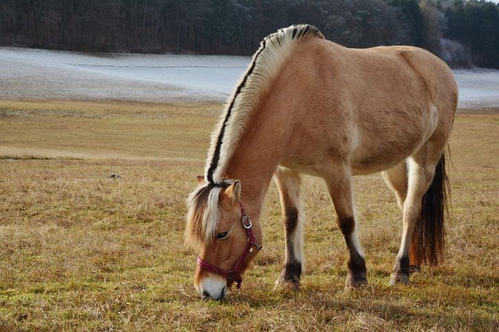fjord norvegien fiche cheval chevaux poney comportement caractere origine poils sante