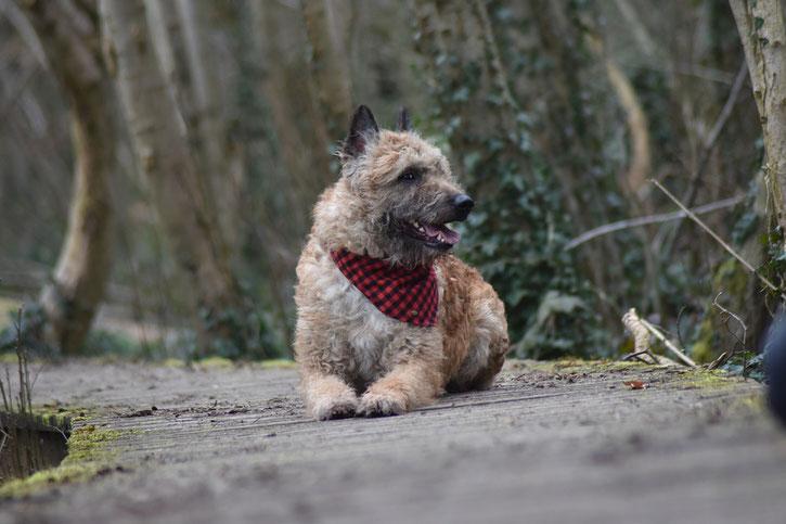laekenois berger belge fiche chien comportement caractere origines poils sante