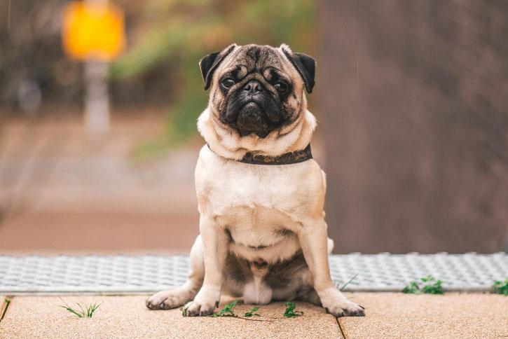 carlin pug fiche chien comportement caractere origines poils sante
