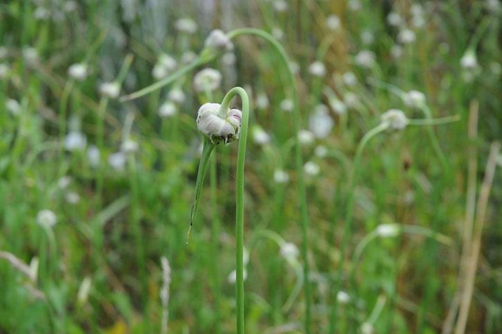 Garlic flower/chironius /Flickr.com