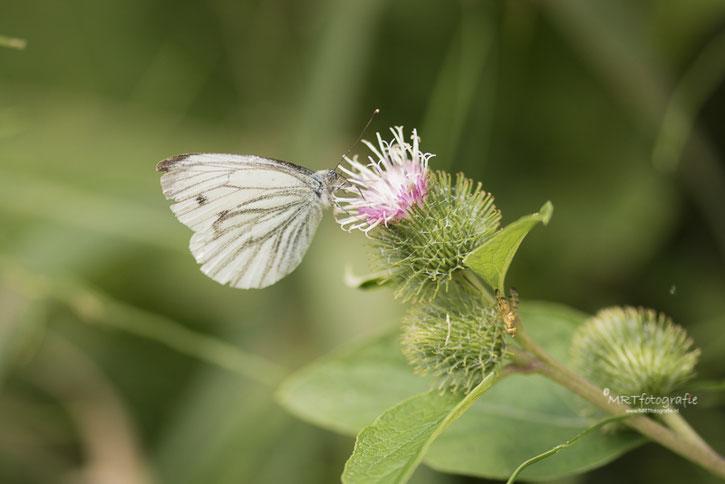 Macro fotografie vlinders, geaderd witje