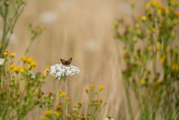 Kleine vuurvlinder op wildepeen