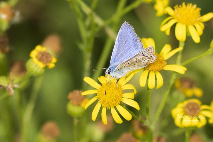 Macro Vlinder Icarusblauwtje