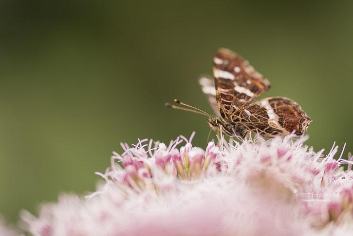 Macrofotografie, vlinder landkaartje