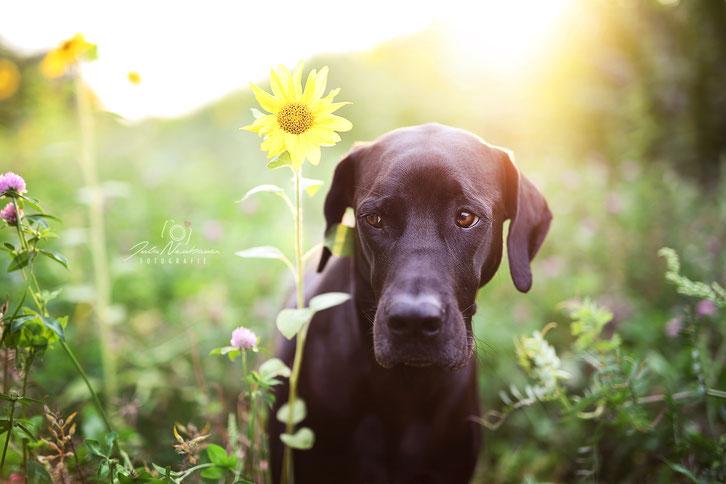 Hund_portrait_Tierfotografie_Sonnenblume_Rhodesian Ridgeback_Deutsche Dogge