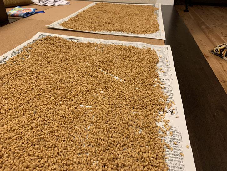 浸水作業が終了した種籾