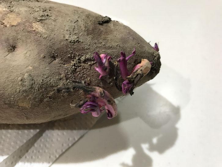 さつま芋から出てきた芽