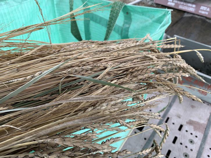 スペルト小麦の穂